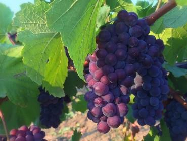 vitigni-oltrepo-pavese