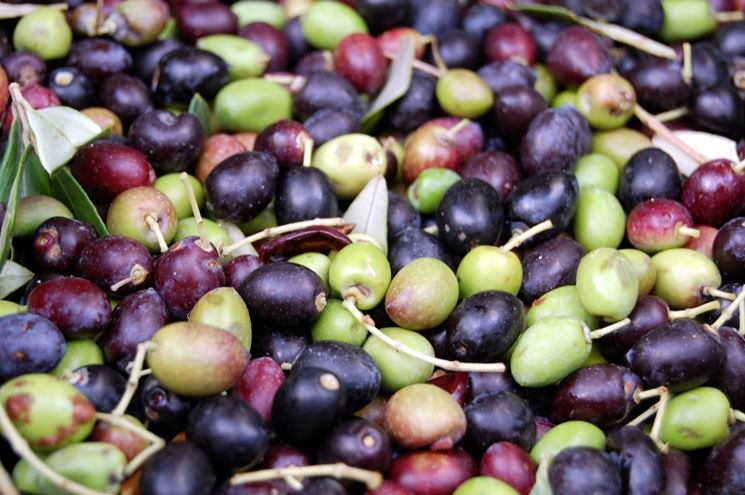 olivo-frantoio