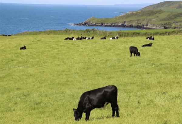 Irlanda mucche pascolo orgin green