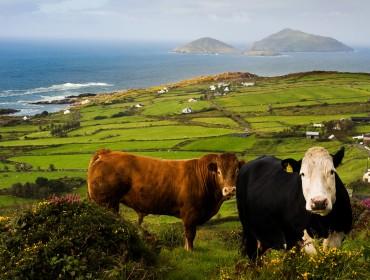Irlanda paesaggio mucche origin green