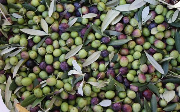 olive-grignano