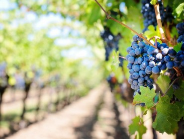 primitivo-wines