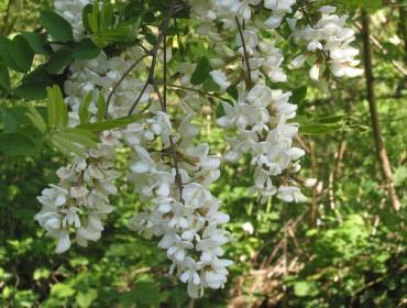 robinia-acacia